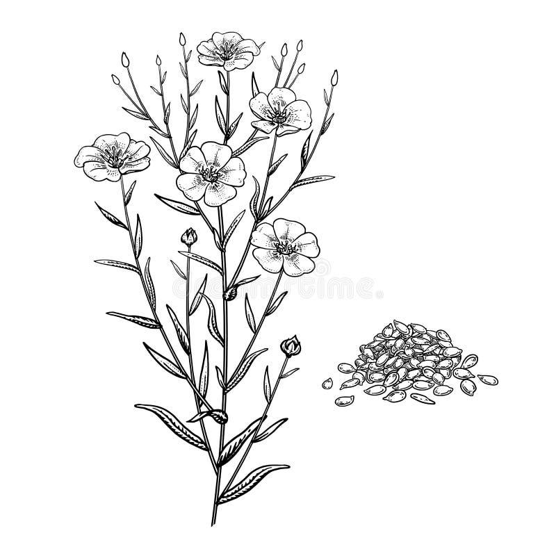 flax Planta medicinal real?stica Ramo, flores, folhas e sementes ilustração do vetor