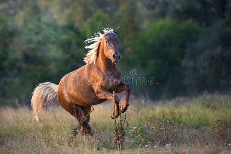 Flaxen horse run outdoor. Flaxen horse run fast in meadow stock photos