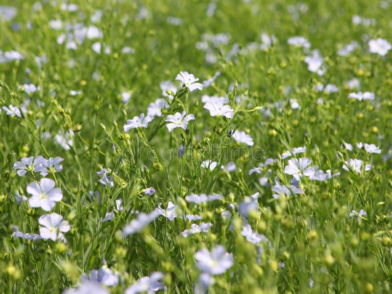 Download Flaxseed Crop (Linum Usitatissimum) Stock Photo - Image: 10964596