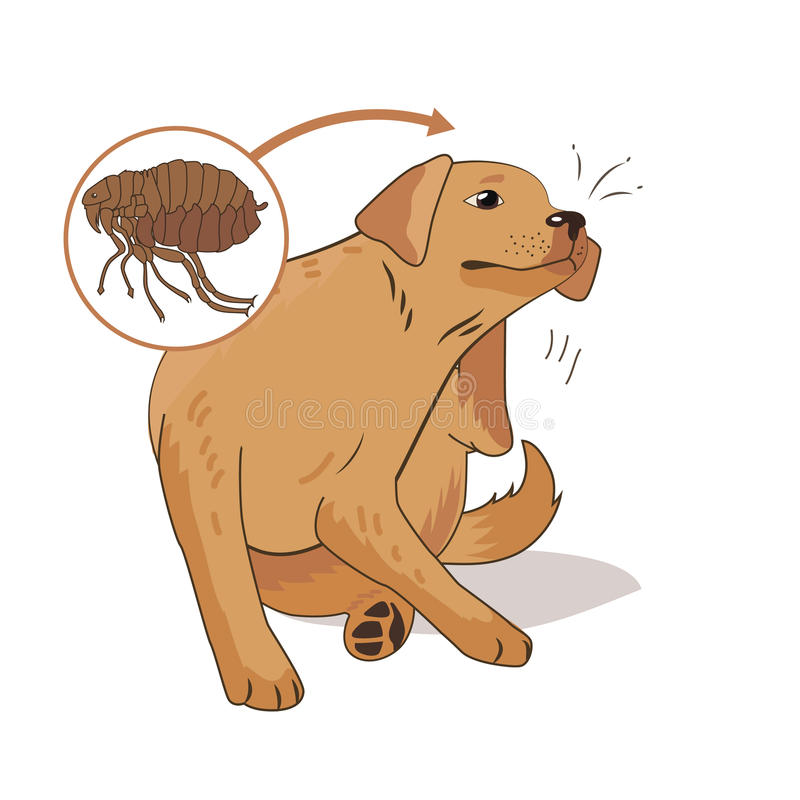 Flea Infested Dog. Scratch The Flea Bugs. Vector Illustration On A White Background. Flea Bugs Life. royalty free illustration