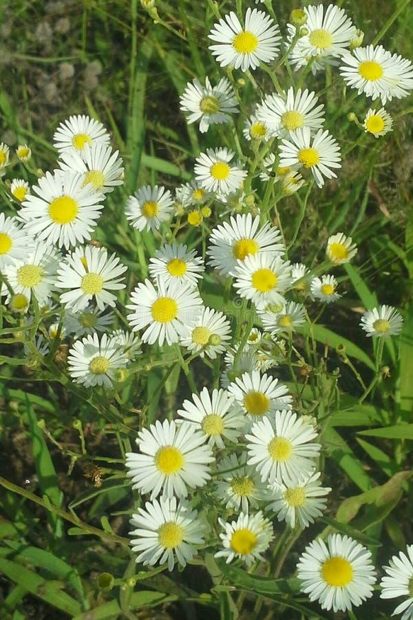 Download Fleabane Oriental De Marguerite Photo stock - Image du aster, fleurs: 87708340