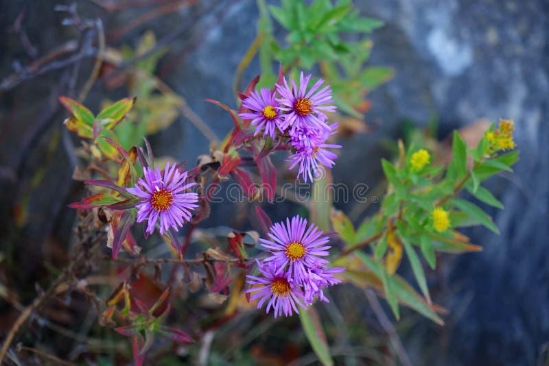 Fleabane - purpurrotes Gänseblümchen lizenzfreies stockbild