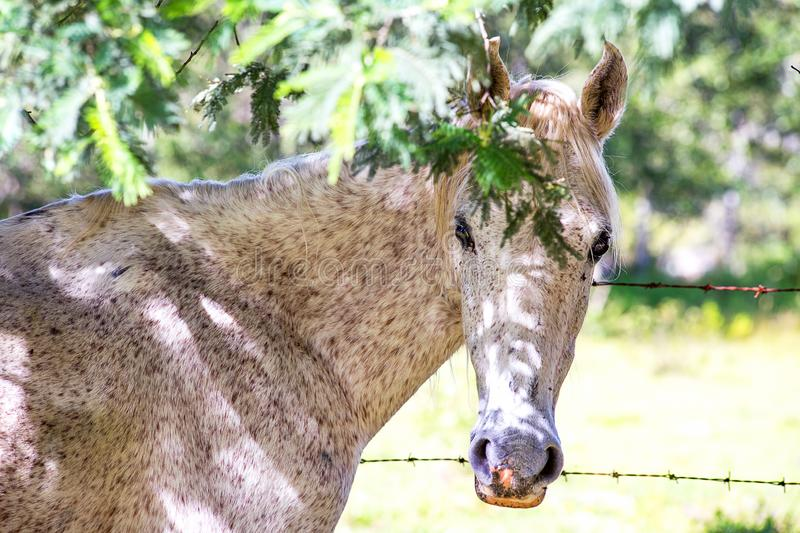 Fleabitten gray mare standing under the shadow stock images