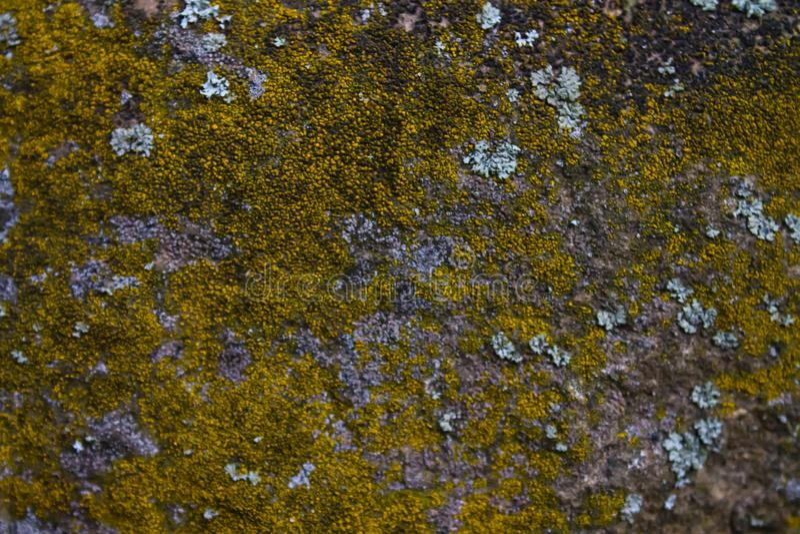 Flechte auf einer grauen Steinwand stockfotos