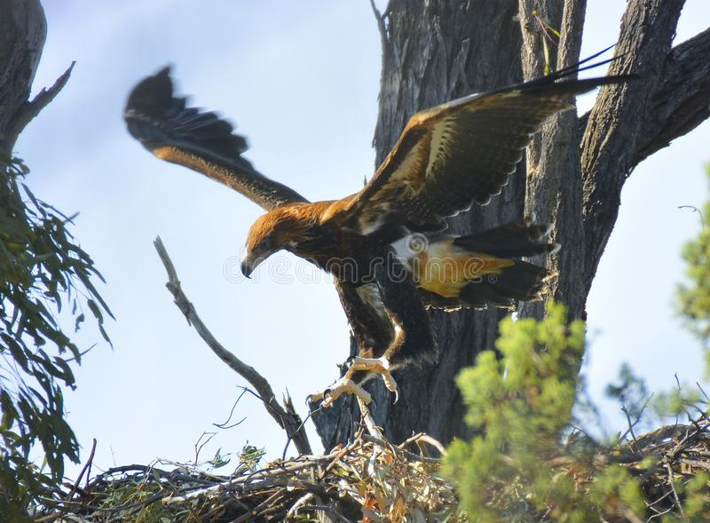 Fledgeling wedge-tailed eagle lifts off stock image