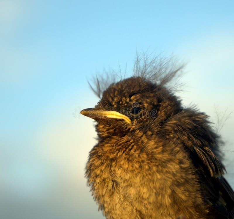 Fledgling Bird. Fledgling Blackbird macro with blue background stock images