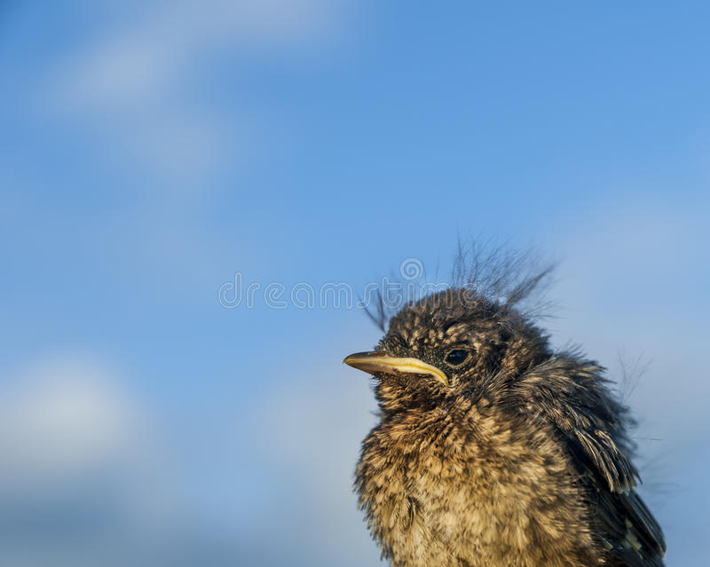 Fledgling Bird. A fledgling blackbird isolated against a blue sky stock photography