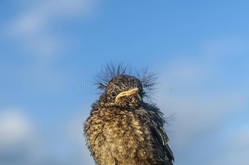 Fledgling Bird. A fledgling blackbird isolated against a blue sky royalty free stock photos