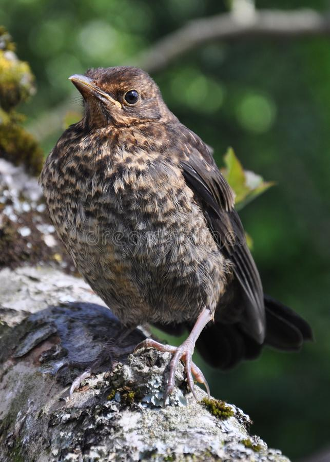 Fledgling blackbird. Young blackbird just having left the nest for the first time stock images
