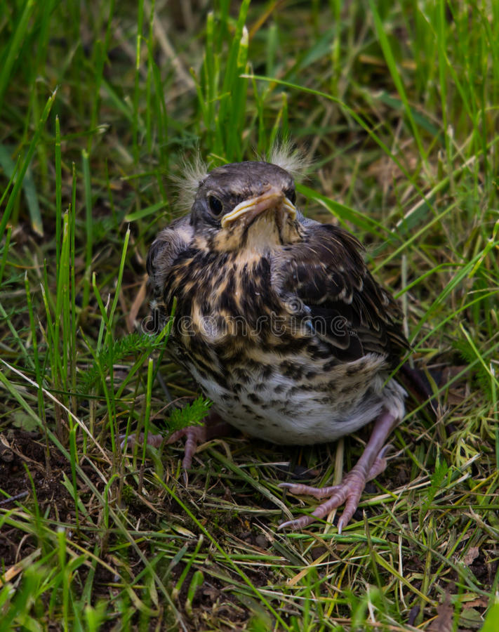 The fledgling Fieldfare. On the ground royalty free stock images