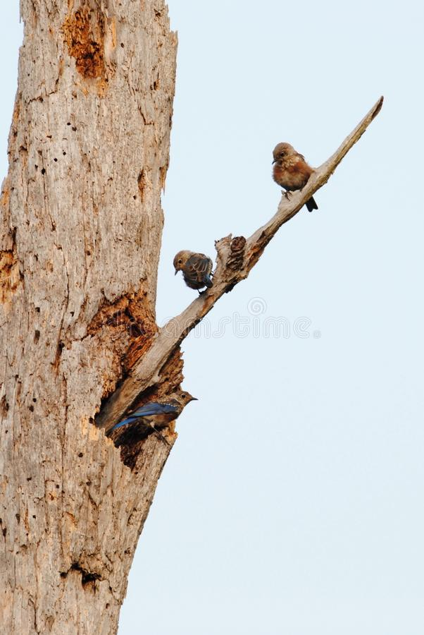 Fledgling Eastern Bluebirds on Dead Tree royalty free stock images