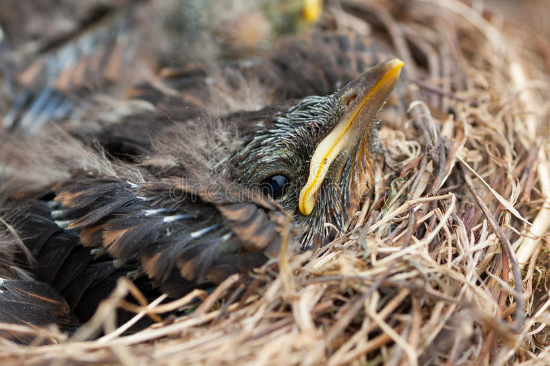 Fledgling in the Nest. Detail of young bird (blackbird) in nest royalty free stock photo