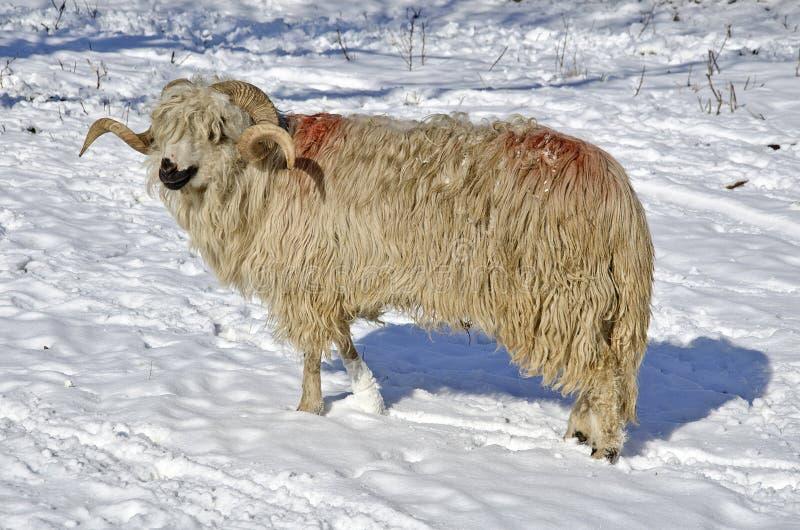 Fleecy ram