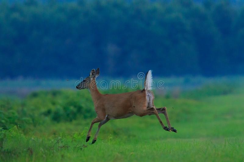 Fleeing. A female Deer escaping into the brush at the Bald Knob Wildlife Refuge locater in Bald Knob, Arkansas 2017 stock photo