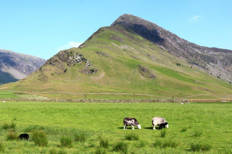 Fleetwith Pike, carneiros do herdwick e cordeiros fotos de stock royalty free
