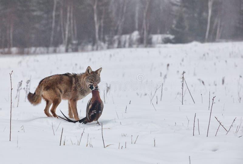 Kojote mit Fasan stockbild