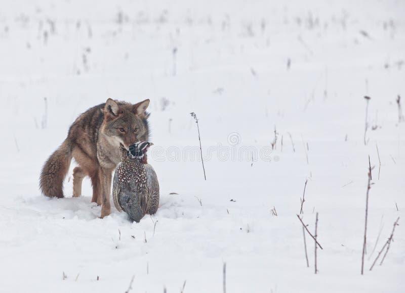 Kojote mit Fasan stockfotos