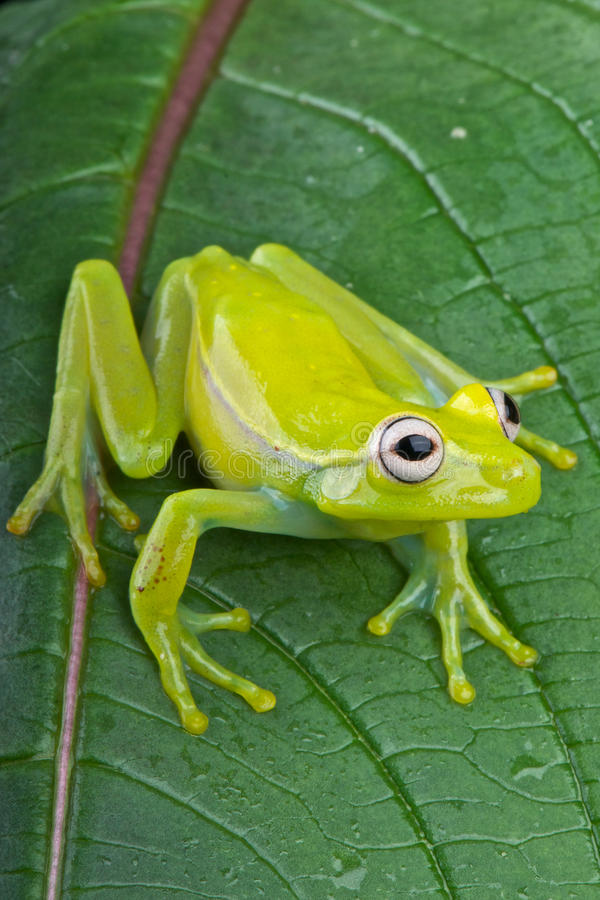 Fleischmann's glass frog royalty free stock photo