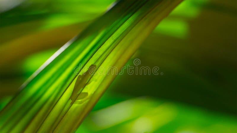 Fleischmanni de cristal de Hyalinobatrachium de la rana de Fleischmann hecho excursionismo en la hoja imagen de archivo libre de regalías