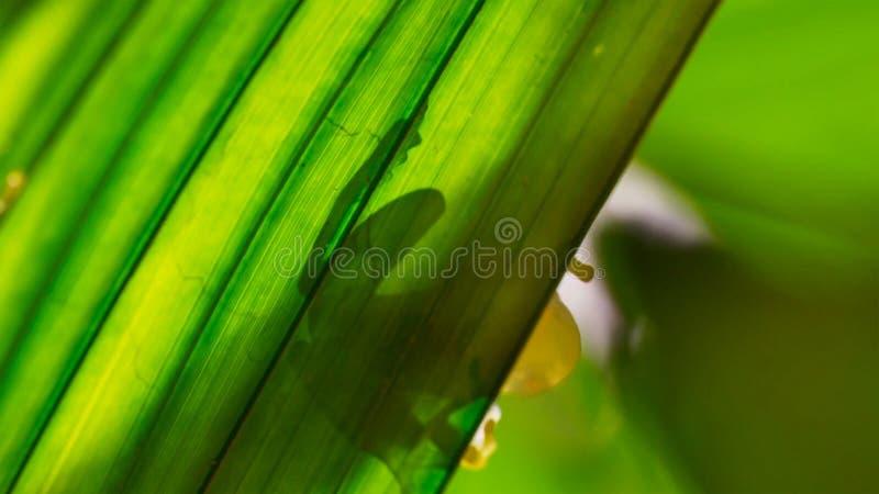 Fleischmanni Hyalinobatrachium лягушки Fleischmann стеклянное подсвеченное на лист стоковое фото