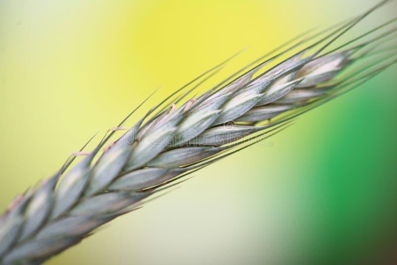 Fleld del cereale fotografie stock libere da diritti