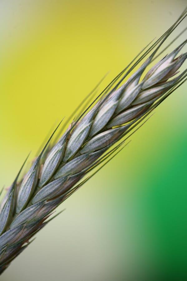 Fleld del cereale fotografia stock