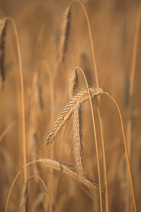 fleld kukurydziany zdjęcie stock