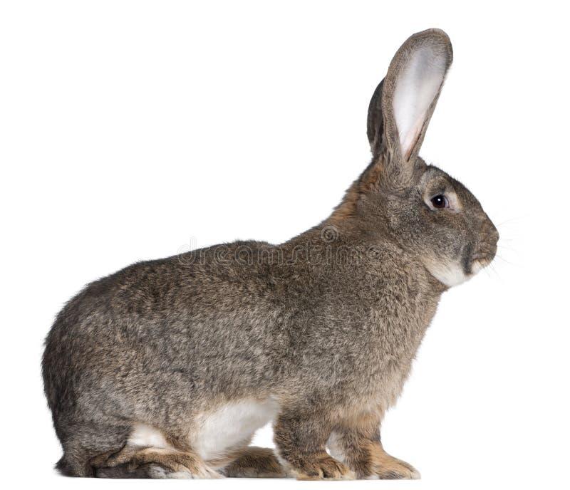 flemish jätte- kanin arkivfoton