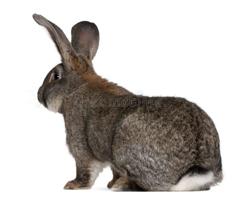 flemish jätte- kanin royaltyfria bilder