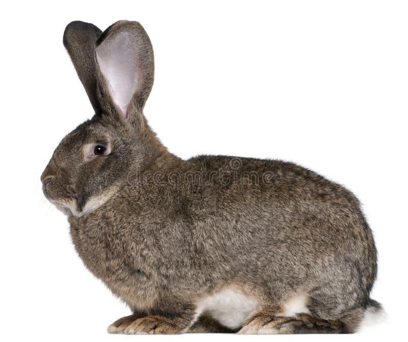 flemish jätte- kanin royaltyfri bild