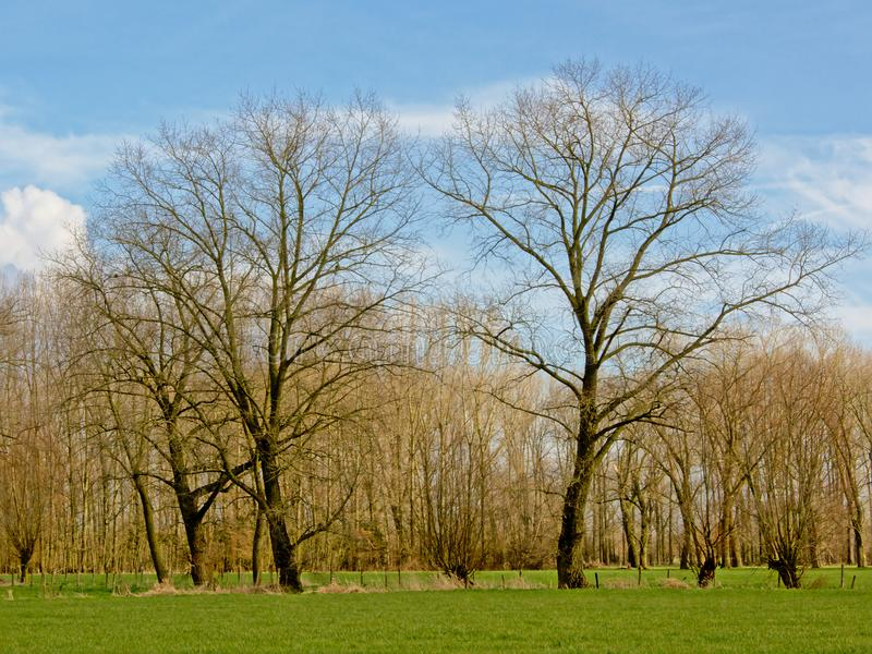 Flemish landscape with alder and willow trees. Sunny flemmish winter landscape with high bare alder trees and pollarded willows on a blue sky with soft clouds in royalty free stock photo