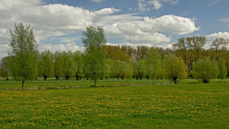Flemish spring Landscape with meadow with dandelions and pollarded willows royalty free stock photos