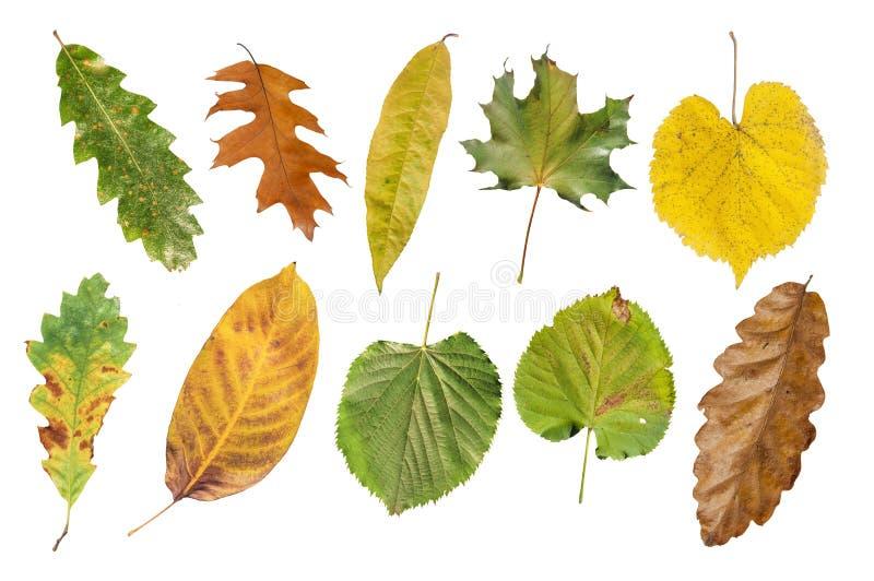Flera åkerbrukt naturligt höstblad som isoleras på vit arkivbild