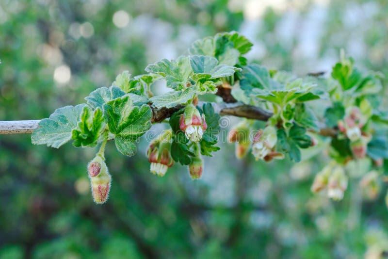 Flera blomningar av krusbäret i vår arkivbilder