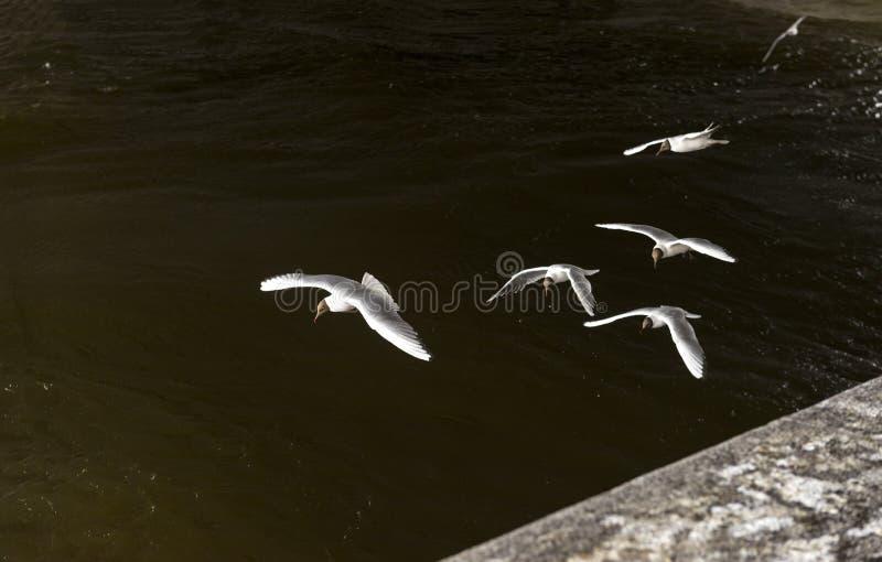 Flera fiskmåsar jagar över vattnet, fåglar flyger royaltyfri bild