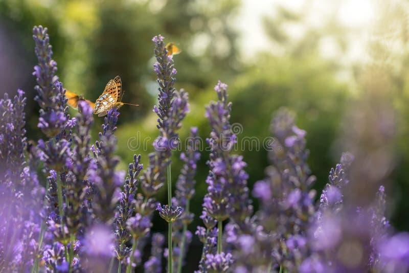 Flera fjärilar flyger över solbelyst lavendel royaltyfria foton