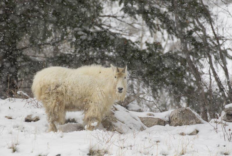 FLERA GETTER I SNOW, SVÅR LAGBILD royaltyfri foto