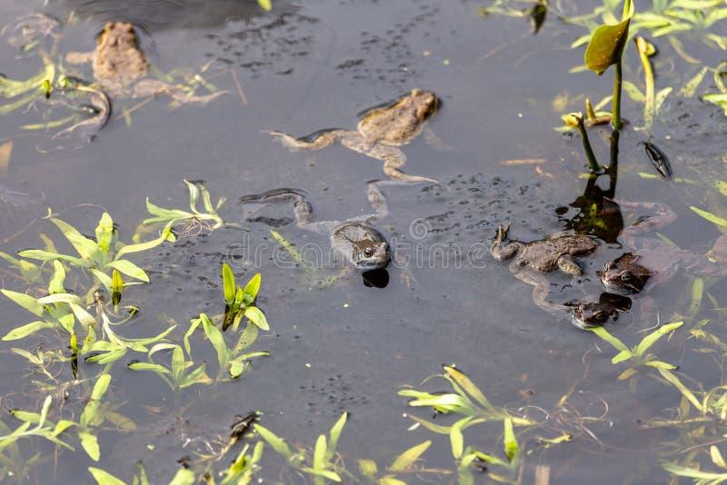 Flera grodor i dammet Grässidor arkivbilder