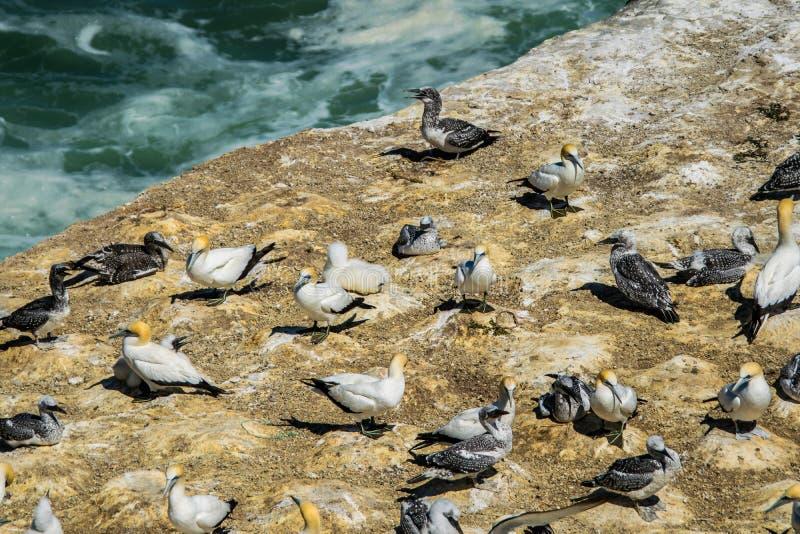 Flera havssulor på klippaframsida royaltyfria bilder