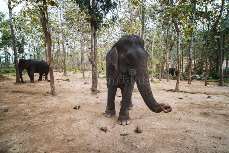 flera inhemska indiska elefanter går bland träden i elefantlantgården i Luang Prabang laos royaltyfri fotografi
