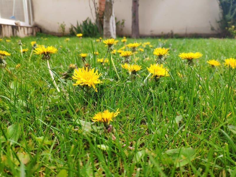 Flera maskrosblommor i mitt av gräset arkivfoton