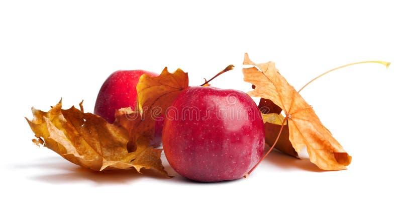 Flera mogna saftiga röda äpplen med höstsidor på isolerad bakgrund royaltyfri bild