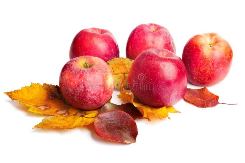Flera mogna saftiga röda äpplen med höstsidor på isolerad bakgrund arkivfoton
