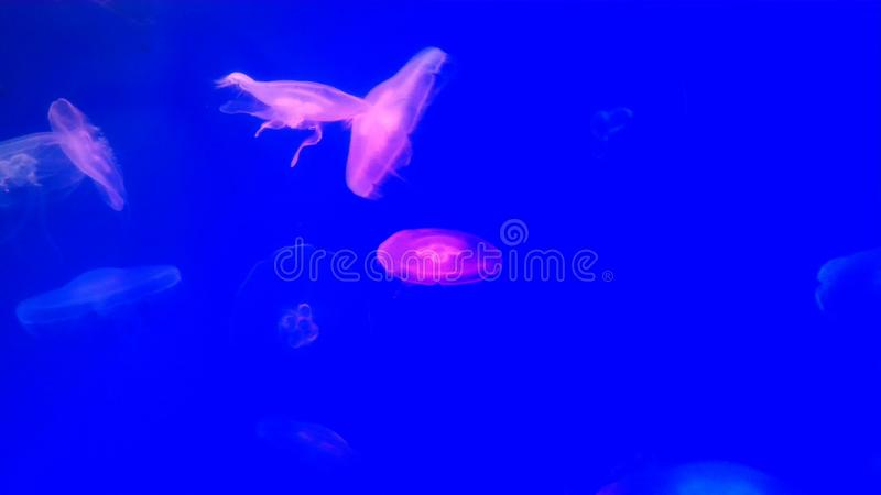 Flera purpurfärgade jelyfish på blå bakgrund royaltyfri foto
