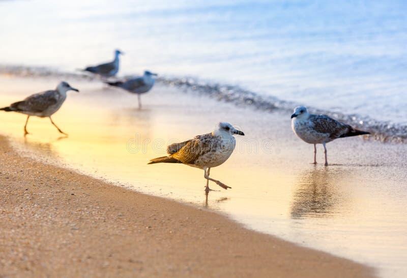 Flera seagullsLarusmichahellis står på en sandig strand på den Black Sea kusten arkivbild