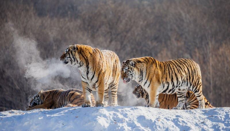 Flera siberian tigrar på en snöig kulle mot bakgrunden av vinterträd Kina harbin Mudanjiang landskap royaltyfri bild