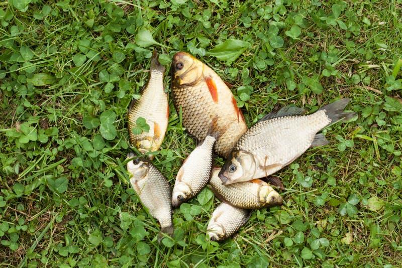Flera små fiskar på det gröna gräset Crucian fångade fiskar arkivfoto