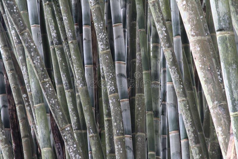 Flera stammar av grön bambu arkivbild