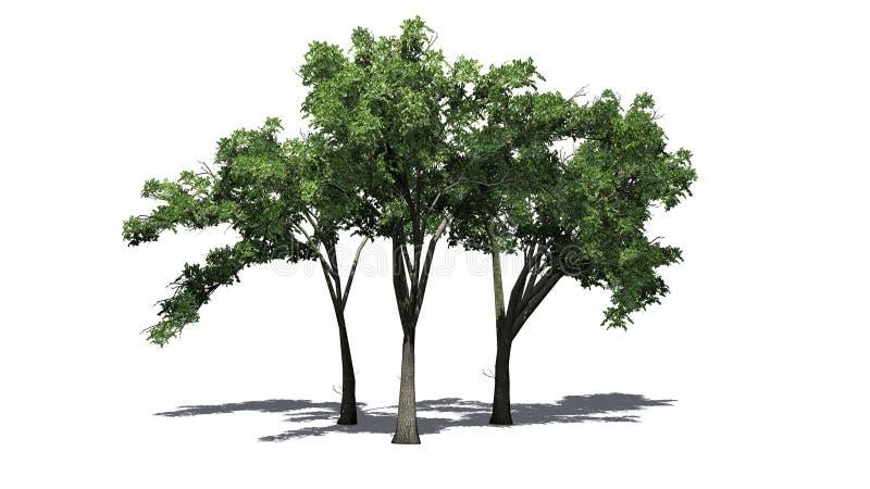 Flera träd för amerikansk alm med skugga på golvet vektor illustrationer