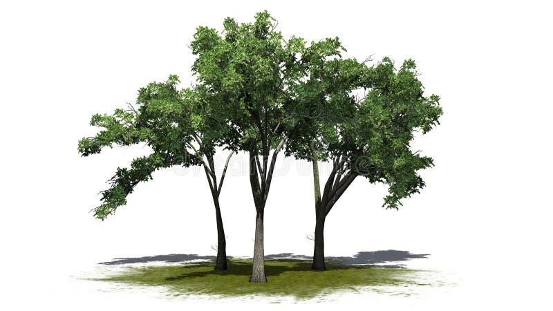 Flera träd för amerikansk alm på en grönområde stock illustrationer